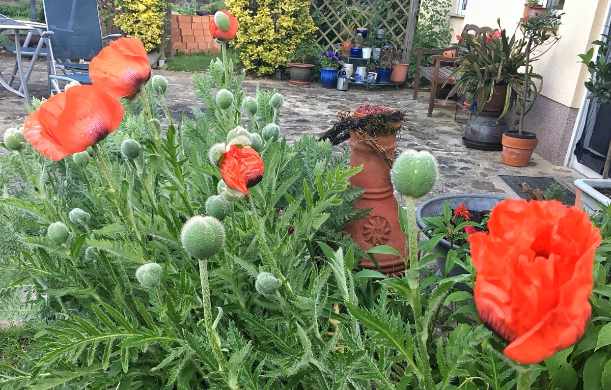 Mohn am Donnerstag